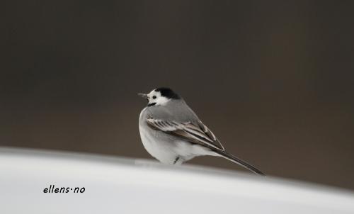 fugler i våren 208
